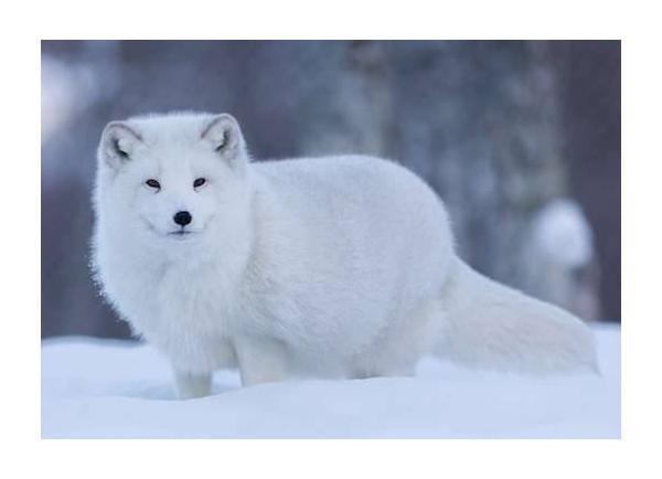 renard polair
